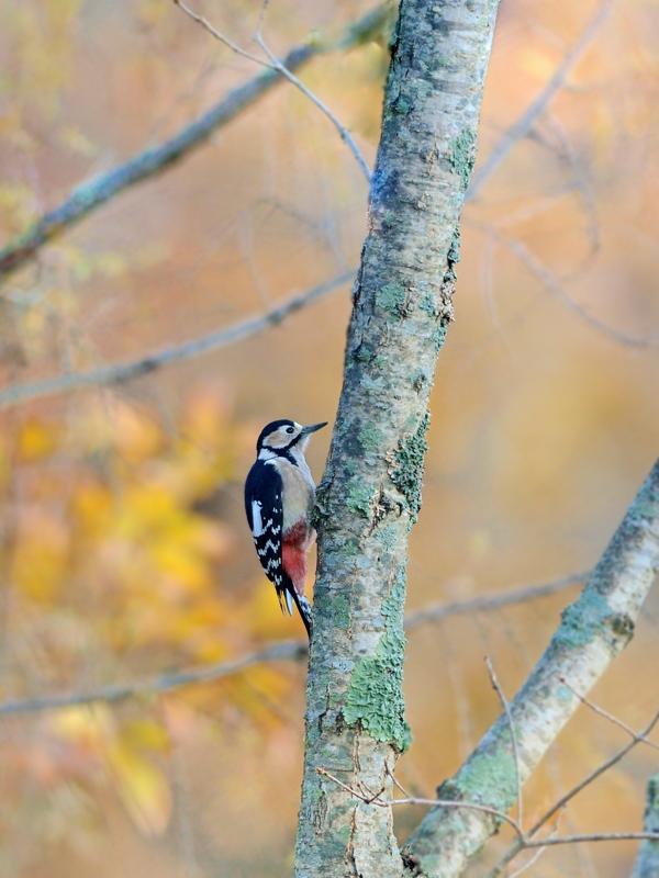 秋の小鳥たち(8)アカゲラ/コゲラ_a0204089_5562661.jpg