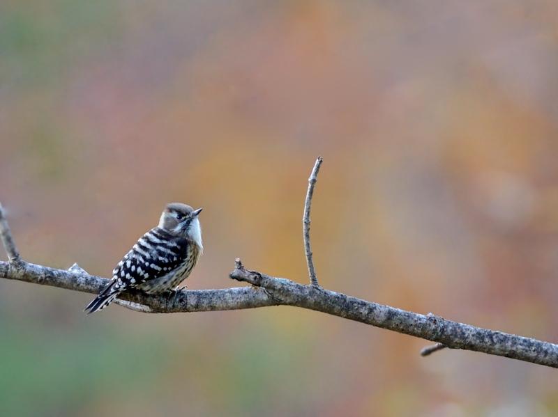 秋の小鳥たち(8)アカゲラ/コゲラ_a0204089_556345.jpg