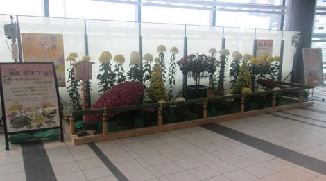 弥彦菊まつりの菊がヒカリエで展示されている_d0183174_11335210.jpg