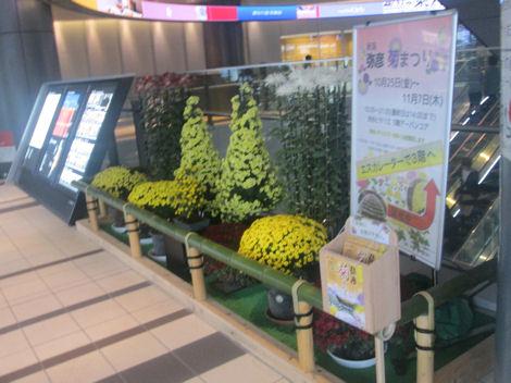弥彦菊まつりの菊がヒカリエで展示されている_d0183174_11342842.jpg