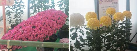 弥彦菊まつりの菊がヒカリエで展示されている_d0183174_1134982.jpg