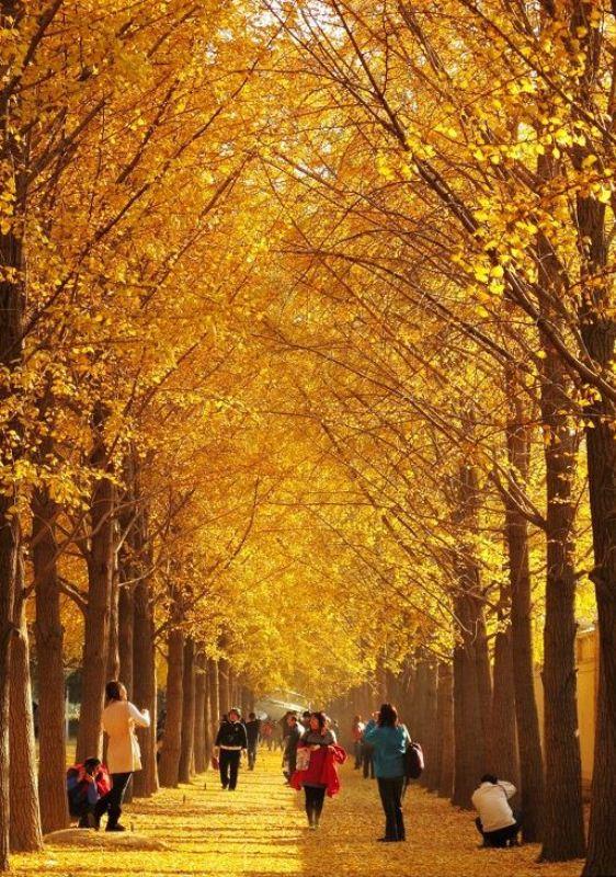 ■ 北京の銀杏並木_e0094583_23112786.jpg