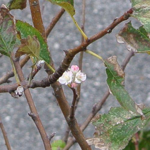 りんごの花、狂い咲き_e0089232_10352314.jpg