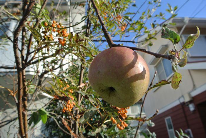 りんごの花、狂い咲き_e0089232_10353923.jpg