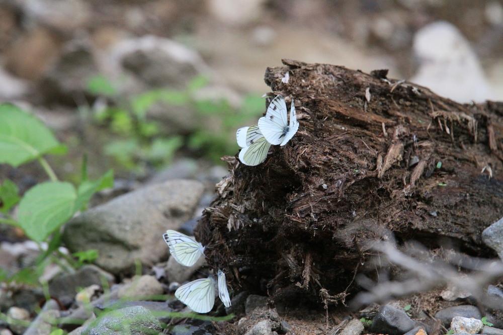 エゾスジグロシロチョウ  スジグロシロチョウと間違えた個体あり。 2013.7.11-13北海道14_a0146869_7112050.jpg