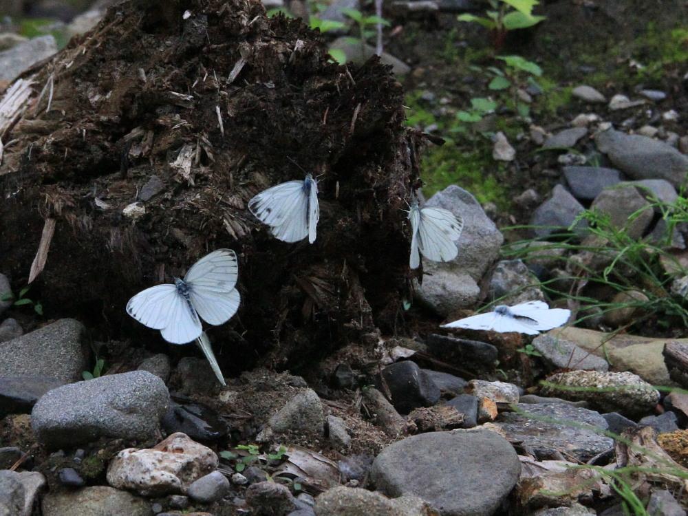 エゾスジグロシロチョウ  スジグロシロチョウと間違えた個体あり。 2013.7.11-13北海道14_a0146869_7113053.jpg