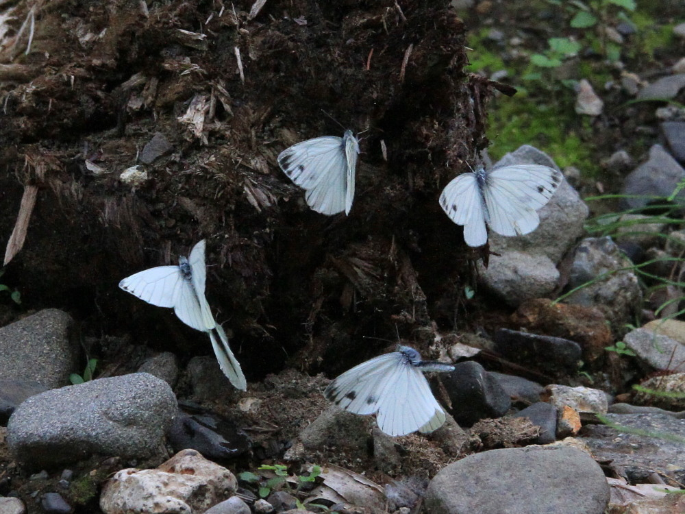 エゾスジグロシロチョウ  スジグロシロチョウと間違えた個体あり。 2013.7.11-13北海道14_a0146869_711352.jpg