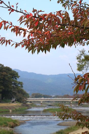 桜が紅葉 鴨川上流_e0048413_12152622.jpg