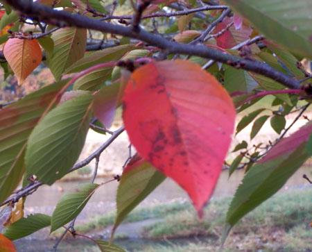 桜が紅葉 鴨川上流_e0048413_121697.jpg