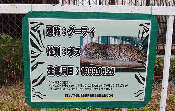2013.7.23 岩手サファリ☆ヒョウのグーフィ 【Leopard】_f0250322_19431021.jpg