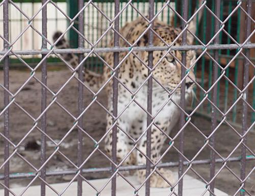 2013.7.23 岩手サファリ☆ヒョウのグーフィ 【Leopard】_f0250322_1943622.jpg