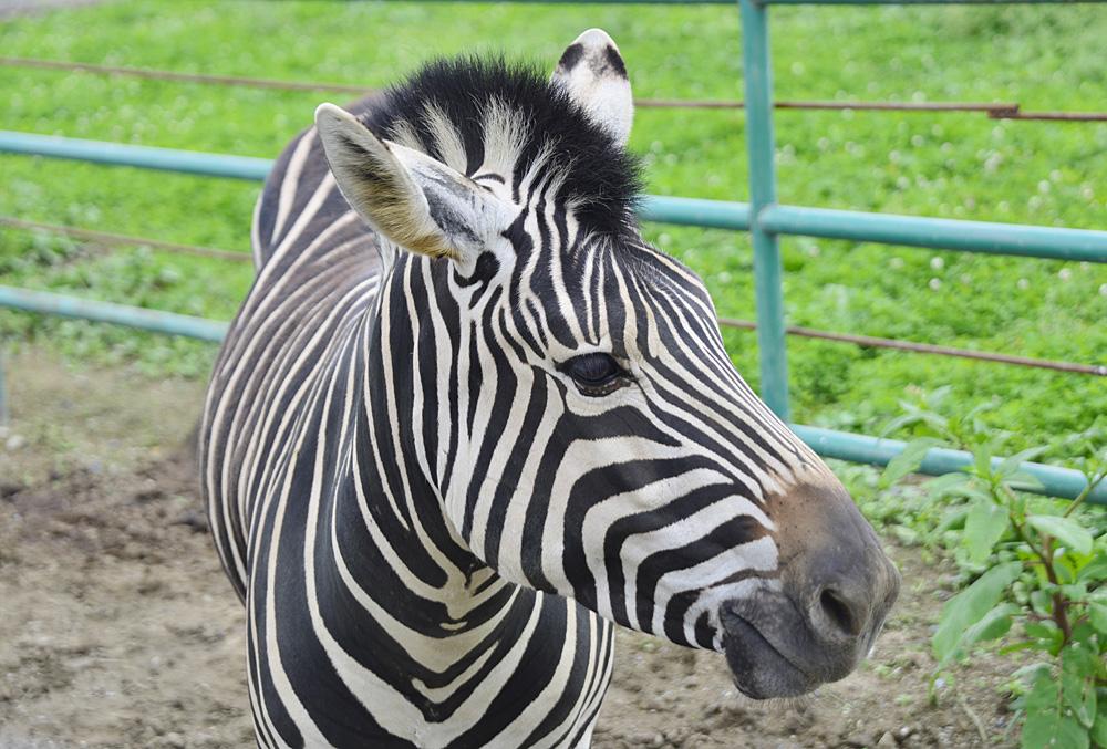 2013.7.23 岩手サファリ☆シマウマ 【Zebra】_f0250322_20331512.jpg