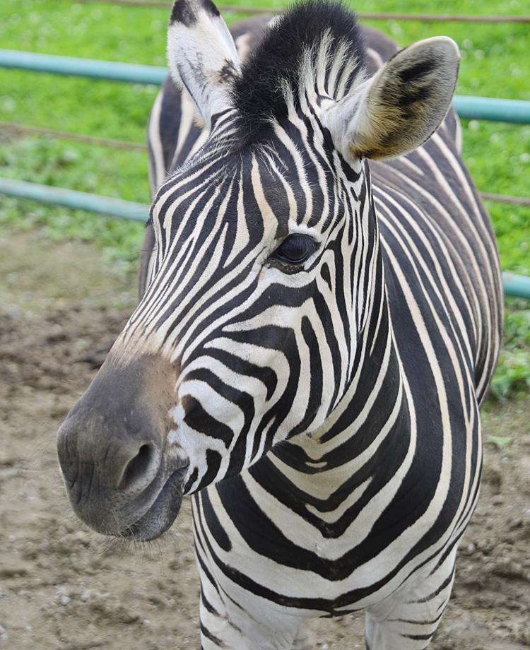 2013.7.23 岩手サファリ☆シマウマ 【Zebra】_f0250322_20331553.jpg