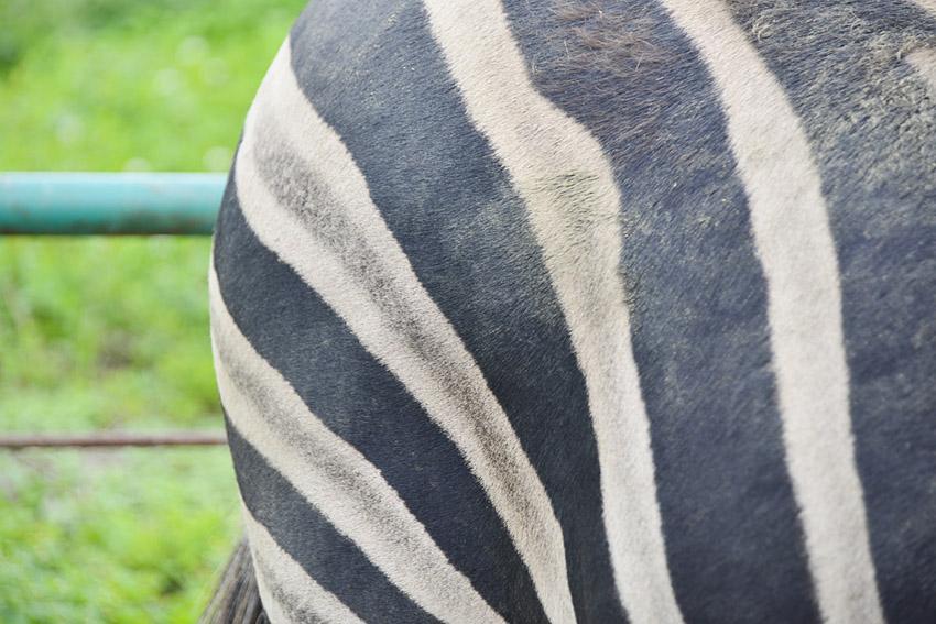 2013.7.23 岩手サファリ☆シマウマ 【Zebra】_f0250322_20374644.jpg