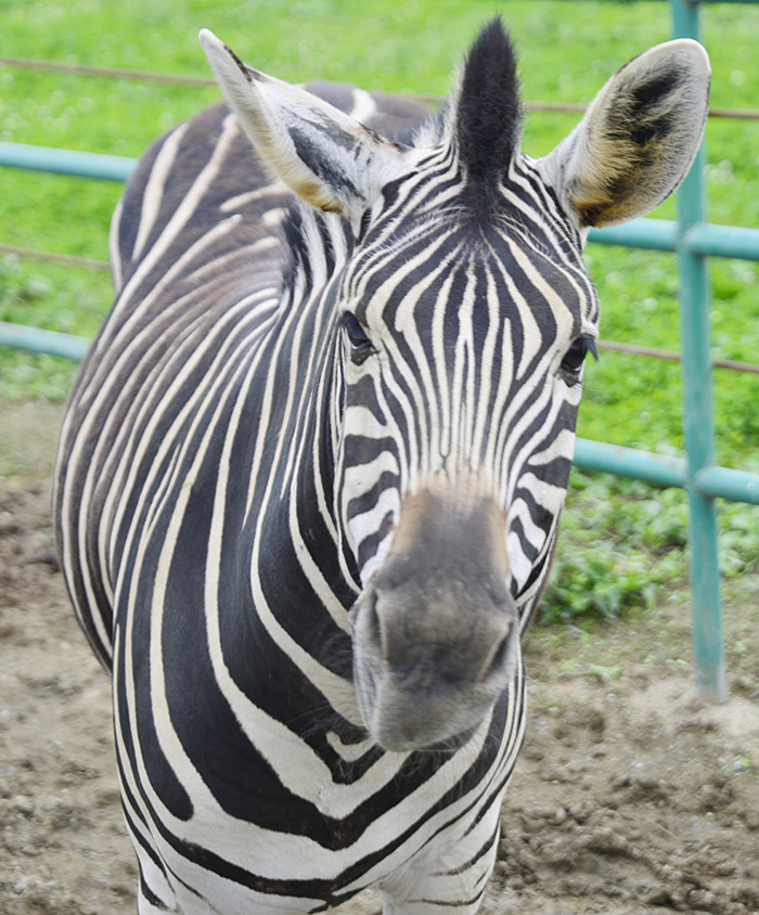 2013.7.23 岩手サファリ☆シマウマ 【Zebra】_f0250322_20392546.jpg