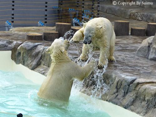 熊館閉鎖前のしろくま親子_d0154140_19591196.jpg