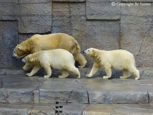 熊館閉鎖前のしろくま親子_d0154140_2012875.jpg