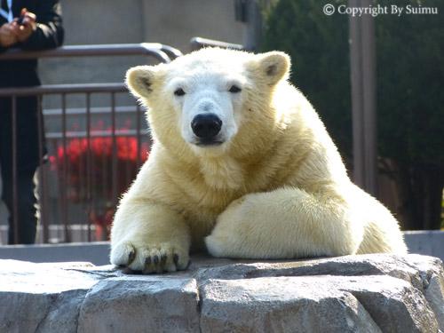 熊館閉鎖前のしろくま親子_d0154140_2045652.jpg