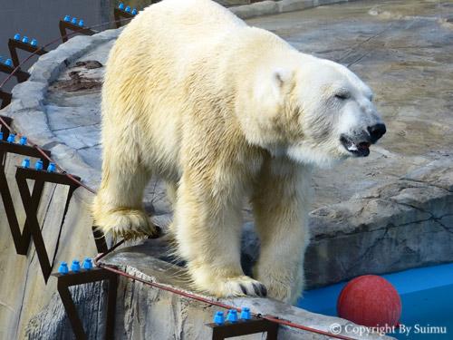 熊館閉鎖前のしろくま親子_d0154140_2054110.jpg