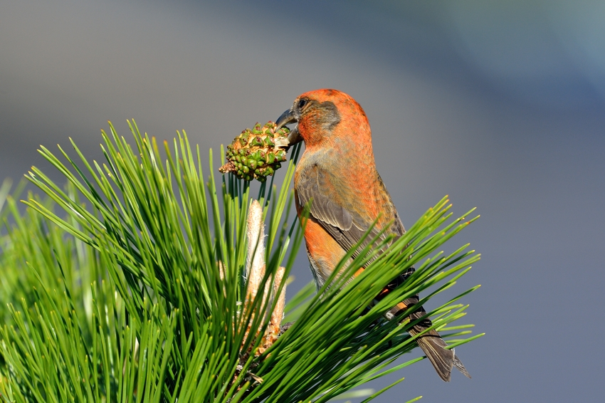 イスカ(Common Crossbill)~2013.11_b0148352_18115343.jpg