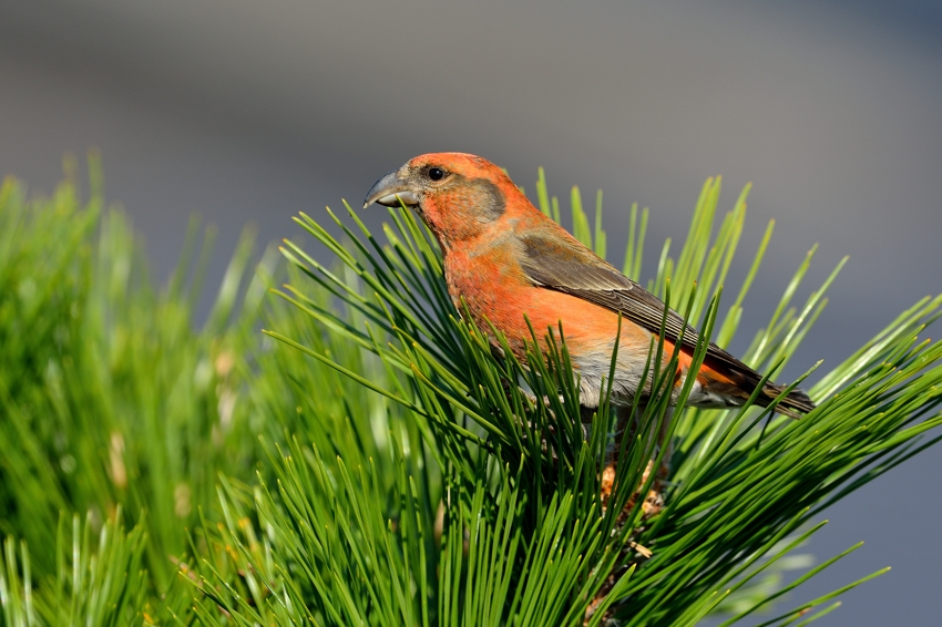 イスカ(Common Crossbill)~2013.11_b0148352_18121488.jpg