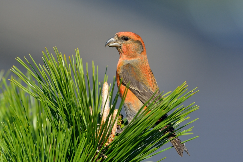 イスカ(Common Crossbill)~2013.11_b0148352_181229.jpg