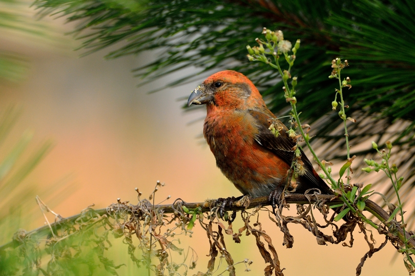 イスカ(Common Crossbill)~2013.11_b0148352_1883094.jpg