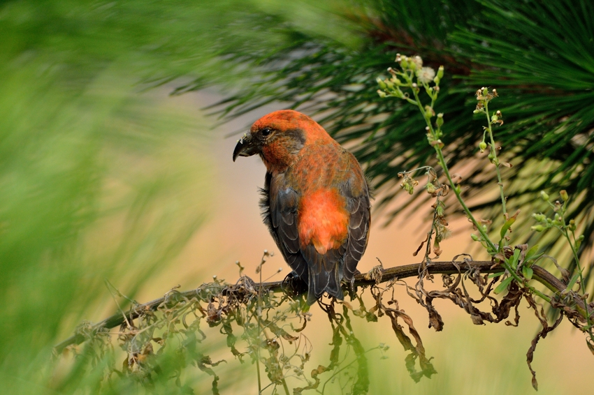 イスカ(Common Crossbill)~2013.11_b0148352_1884099.jpg