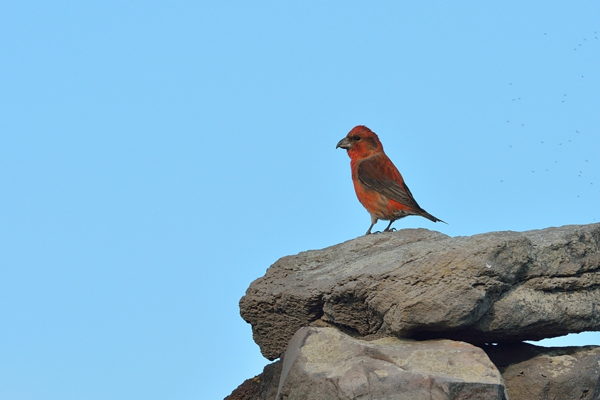 イスカ(Common Crossbill)~2013.11_b0148352_189252.jpg