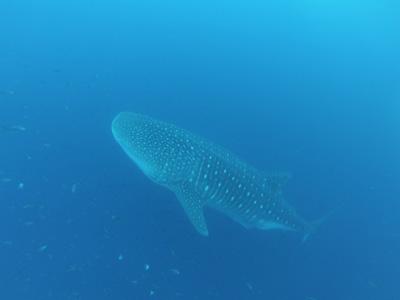 ガラパゴスの海 ダイビング編          GALAPAGOS_e0184067_22265926.jpg
