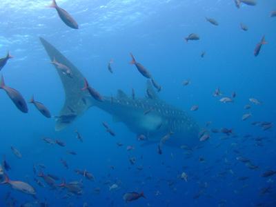 ガラパゴスの海 ダイビング編          GALAPAGOS_e0184067_2227839.jpg