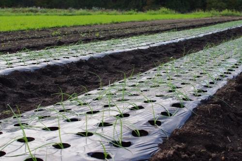 タマネギ苗を植える_c0110869_1413983.jpg