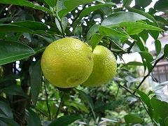 柚子が実りました。_e0064783_2321781.jpg