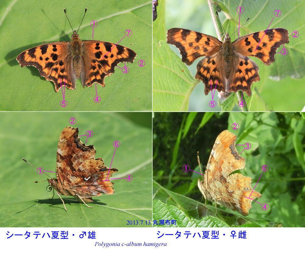 シータテハ  夏型を満喫。  2013.7.11-13北海道16_a0146869_530644.jpg