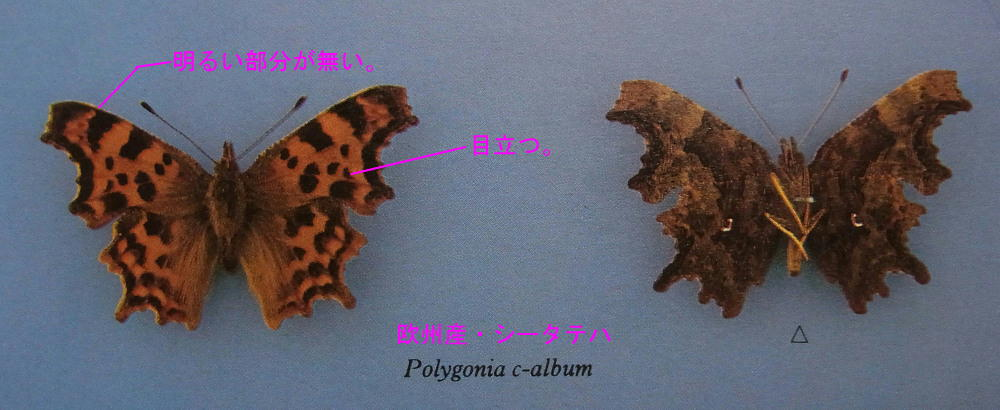 シータテハ  夏型を満喫。  2013.7.11-13北海道16_a0146869_541697.jpg