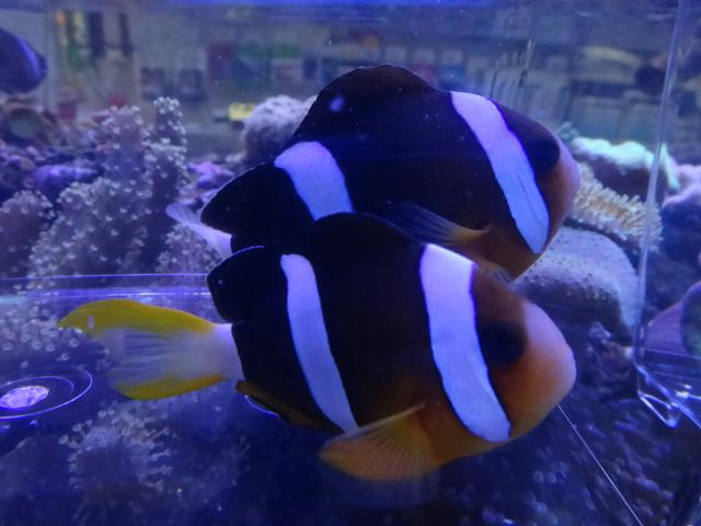 131106 海水魚・水草・淡水魚・金魚_f0189122_12491374.jpg