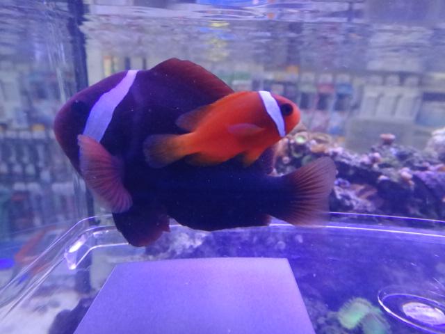 131106 海水魚・水草・淡水魚・金魚_f0189122_12502597.jpg