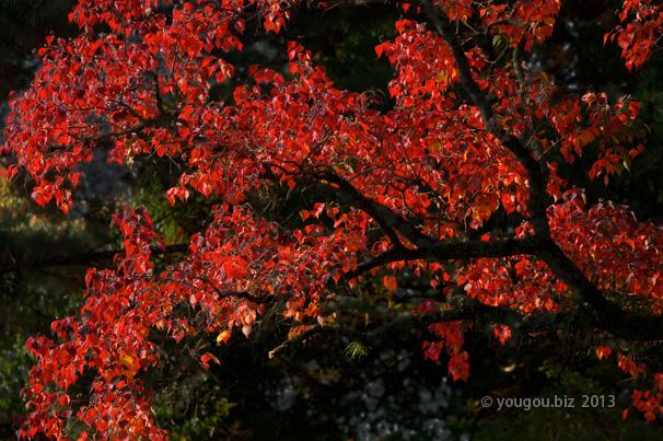 奈良国立博物館から見えるナンキンハゼ Sapium sebiferum view from Nara national museum_e0245846_10422748.jpg