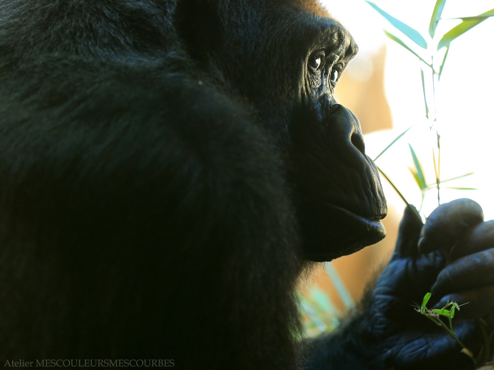 Gorillas are vegetarians._e0194450_8341283.jpg