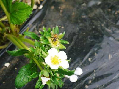 紅ほっぺ イチゴ一筋13年の親子の匠が育て上げる『紅ほっぺ』の開花(その1)_a0254656_17363626.jpg