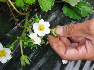 紅ほっぺ イチゴ一筋13年の親子の匠が育て上げる『紅ほっぺ』の開花(その1)_a0254656_174103.jpg