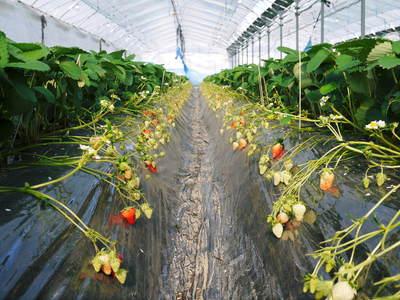 紅ほっぺ イチゴ一筋13年の親子の匠が育て上げる『紅ほっぺ』の開花(その1)_a0254656_17531577.jpg