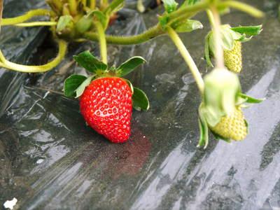紅ほっぺ イチゴ一筋13年の親子の匠が育て上げる『紅ほっぺ』の開花(その1)_a0254656_1803267.jpg