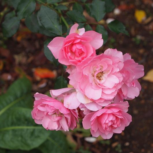 バラ、バラ、バラ_a0292194_2322532.jpg