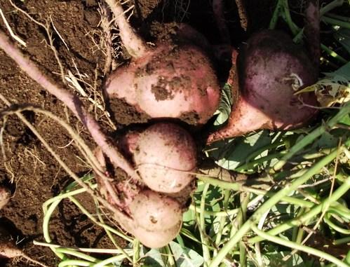 サツマイモの収穫...小さな芋です。_b0137932_19145110.jpg