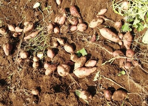サツマイモの収穫...小さな芋です。_b0137932_1915234.jpg
