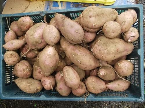 サツマイモの収穫...小さな芋です。_b0137932_19155910.jpg