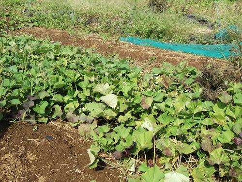 サツマイモの収穫...小さな芋です。_b0137932_191875.jpg