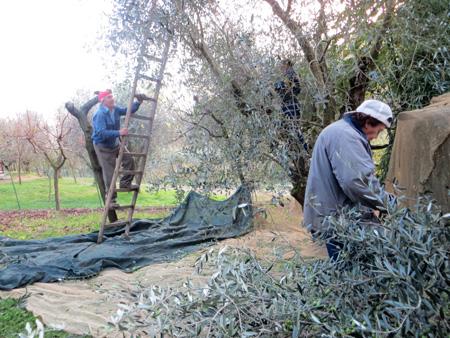 オリーブ収穫枝切り作戦_f0234936_7384240.jpg