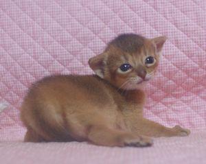 アビシニアン子猫 家族募集 _e0033609_21355370.jpg
